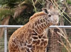 Giraffe; Photo by SJF Communications