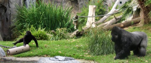 Gorillas; Orangutan; Photo by SJF Communications