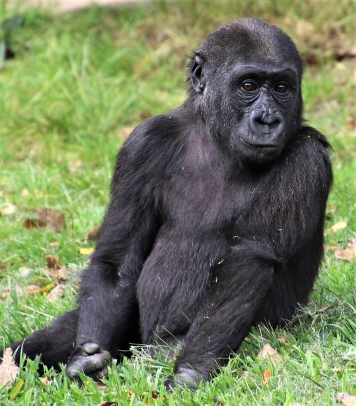 Gorilla; Orangutan; Photo by SJF Communications