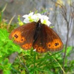 Common alpine