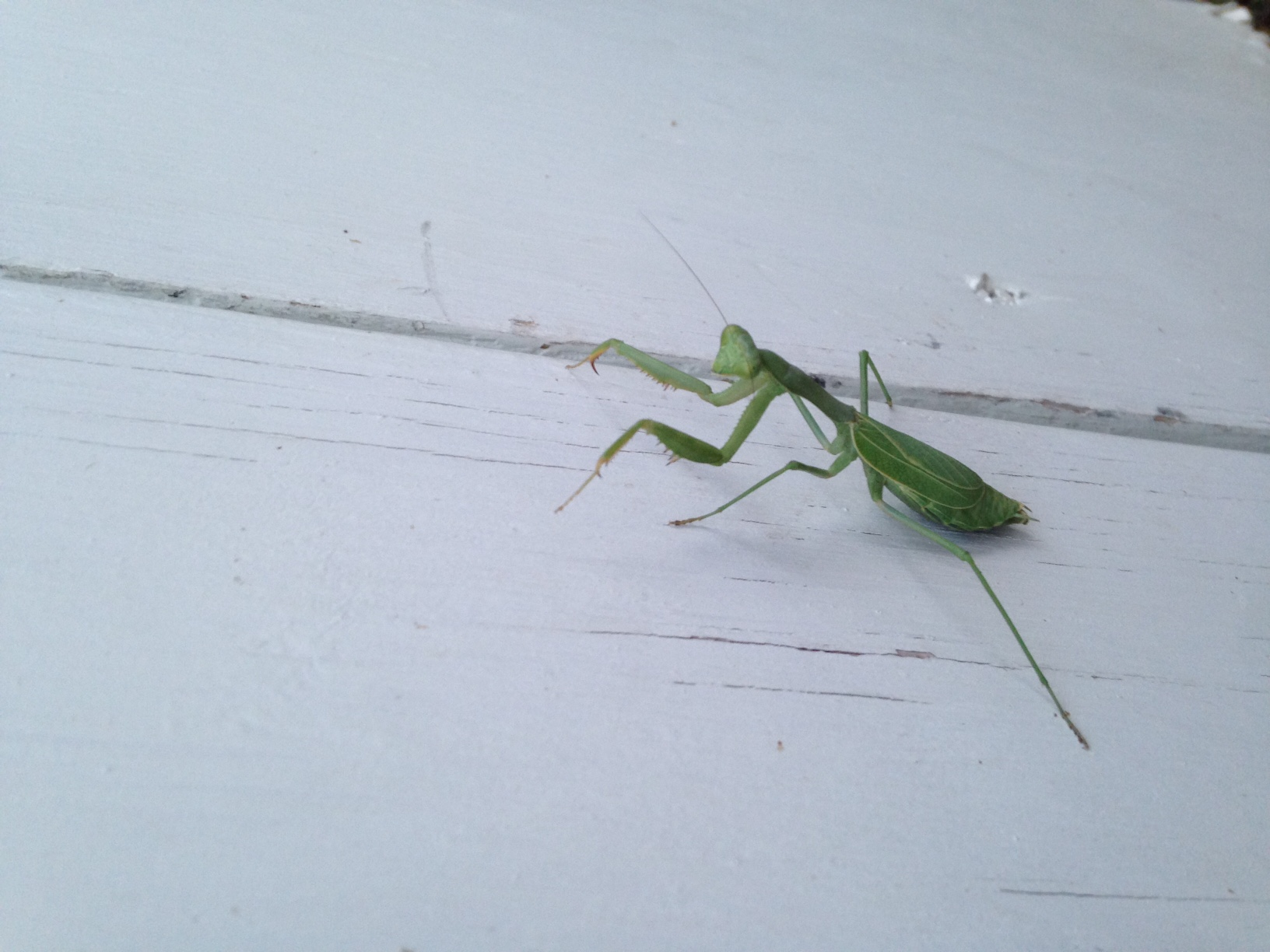 Our Spiritual Insect Friend The Praying Mantis Sjma