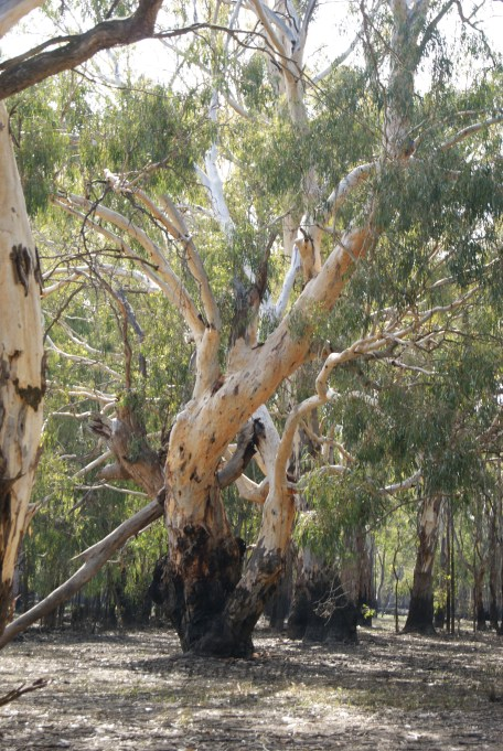 Awesome Gum Trees by the Murray