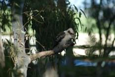Kookaburra at the Port of Echuca