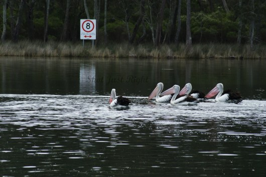 Pelicans at Sussex Inlet