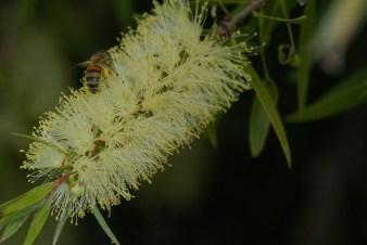 Bee on Callistermon