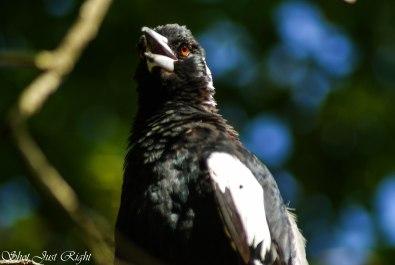 Magpie enjoying the sun