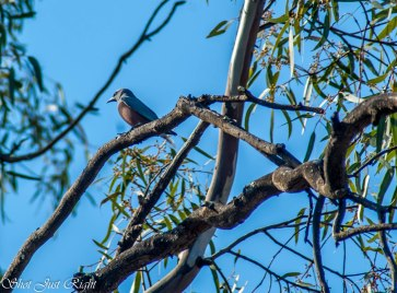 White Browed Wood Swallow