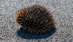 Echidna travelling on Christmas day