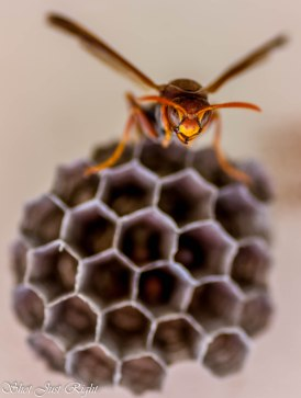Wasp making her nest