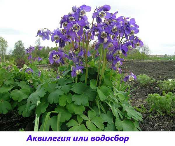 Цветы в саду и в огороде многолетние – Каталог многолетних ...