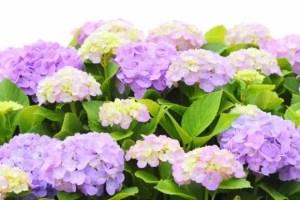なばなの里あじさい花まつり2016の開花や見頃は?日程は?