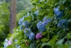 京都あじさい2018の開花や見頃と名所や穴場スポットは?