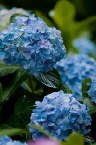 鎌倉明月院あじさい2018の開花や見頃と見どころや穴場は?
