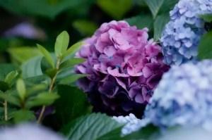 鎌倉成就院あじさい2017の開花や見頃とパワースポットは?