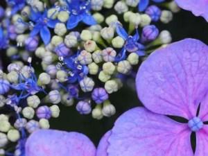 若松あじさい祭り2017の開花や日程は?駐車場や見ごろは?