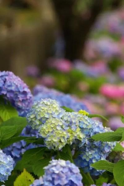 形原温泉あじさい祭り2018の開花や日程、見どころは?