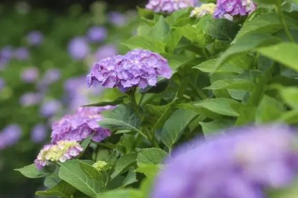 白山神社あじさい祭り2016の日程と場所、開花や見頃は?