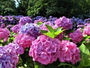 としまえんあじさい祭り2016の開花や日程、見頃やお得情報は?