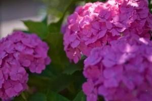 舞鶴自然文化園あじさい2017の開花や見頃は?観光スポットは?