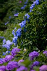 神戸市立森林植物園あじさい2016の開花や見頃とアクセス方法は?