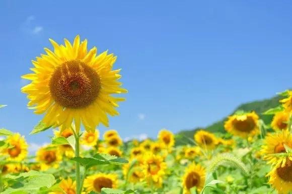 大阪(関西)のひまわり畑の名所と見頃の時期はいつ?