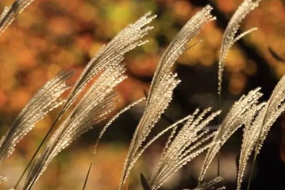 秋の七草の覚え方はコレ!春の七草との違いは?