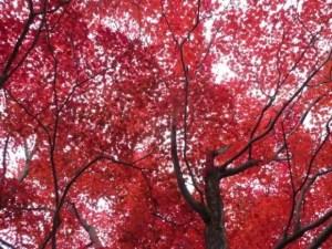 仁和寺の紅葉2017の見ごろ時期と紅葉スポットはココ!