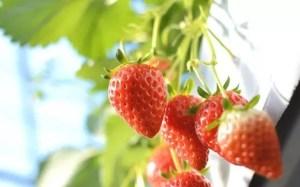 愛知イチゴ狩りおすすめ人気スポット2017!美味しい時期は?