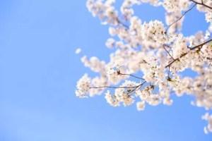 千葉の桜・花見の名所や穴場おすすめ10選と開花情報2018!