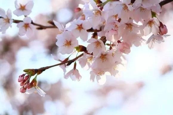 神奈川の桜・花見の名所や穴場おすすめ10選と開花情報2018!