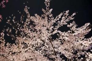 愛知の夜桜ライトアップの名所や穴場スポット10選!