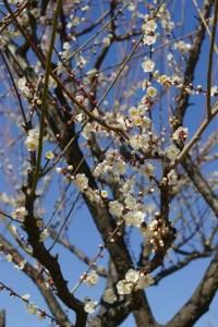 青谷梅林の梅まつり2016の見頃の時期や開花状況は?
