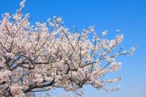 芦野公園の桜(金木桜まつり)2017の開花予想と見頃時期!