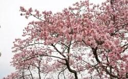 綾部山梅林の梅の見頃や開花状況2018と駐車場は?