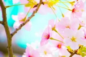 万博記念公園の桜祭りや夜桜2017の開花状況と見頃時期!