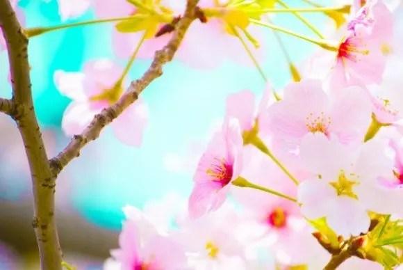 万博記念公園の桜祭りや夜桜2016の開花状況と見頃時期!