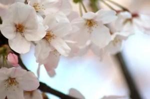 醍醐桜2017の開花情報や見頃と駐車場やアクセス方法!