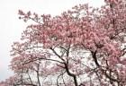 大宰府天満宮の梅の見頃や開花状況2018と「飛梅」!