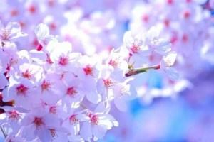 烏帽子山千本桜2018開花状況と見頃時期!