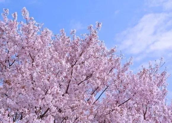 福岡の桜(花見)名所や穴場おすすめ10選と開花情報2017!