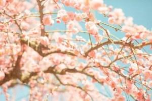 羽根木公園せたがや梅まつり2017の見頃の時期や開花状況は?