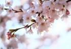 桧木内川堤の桜並木(ソメイヨシノ)2018の開花状況と見頃時期!