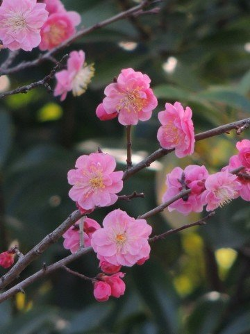 いなべ市梅林公園の梅まつり2019の見頃の時期や開花状況は?