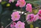 いなべ市梅林公園の梅まつり2018の見頃の時期や開花状況は?