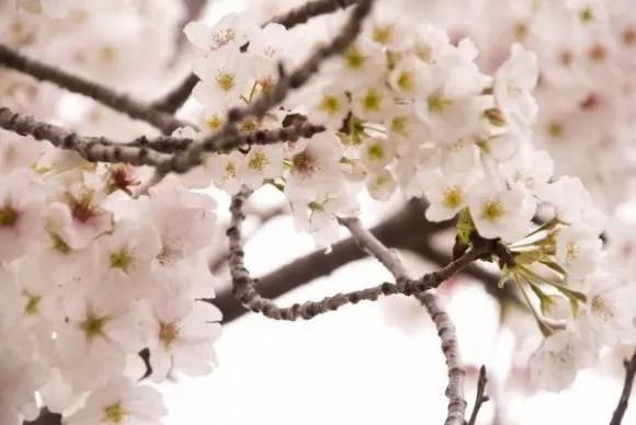 井の頭恩賜公園の桜(お花見)2019開花情報と見頃時期!