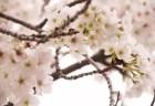 井の頭恩賜公園の桜(お花見)2018開花情報と見頃時期!