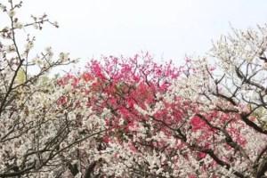 水戸偕楽園の梅まつり2018の見頃の時期や開花状況は?