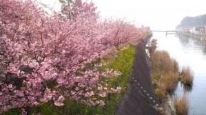 河津桜まつり2018の見頃の時期とアクセスや駐車場は?