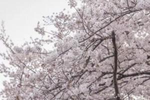 兼六園の桜お花見2017の見頃の時期や開花状況!