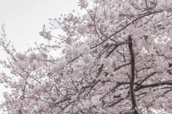 兼六園の桜お花見2019の見頃の時期や開花状況!